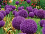 Луковый сад: выращиваем аллиумы