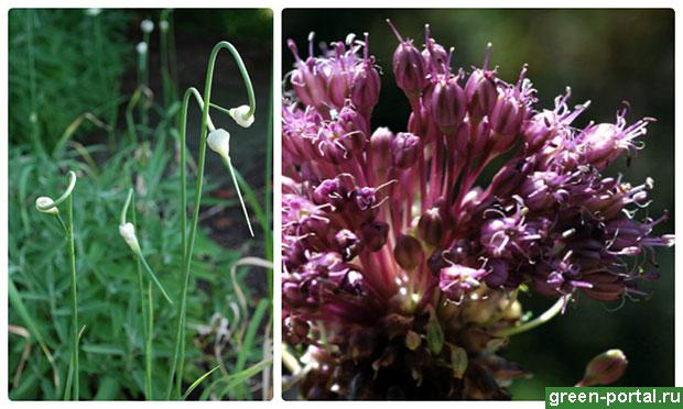 Стрелки и соцветие дикого чеснока (лука длинноостного)