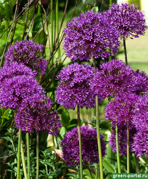 Афлатунский лук 'Purple Sensation'
