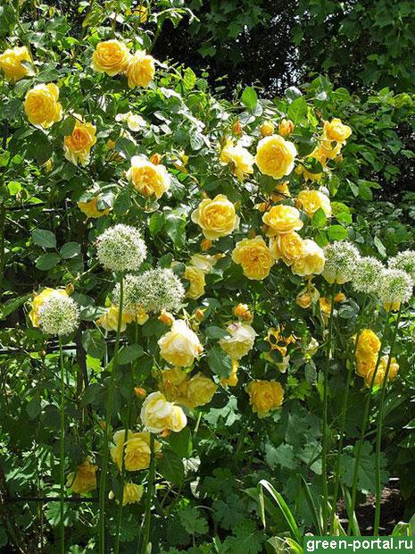 Желтая английская роза 'Graham Thomas' и аллиумы