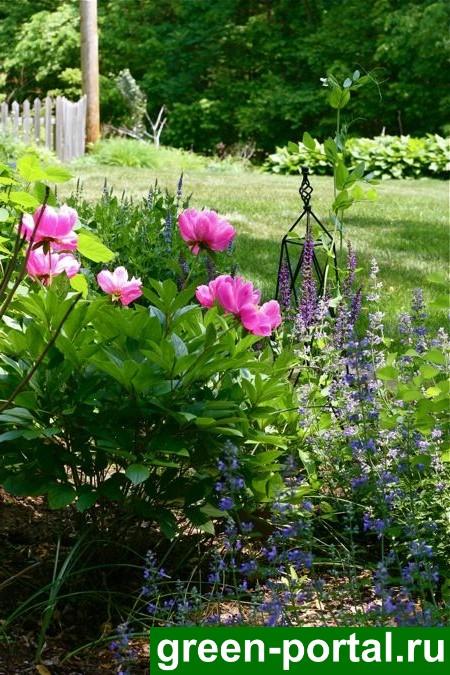 Розовые пионы сделают нежнее любой цветник