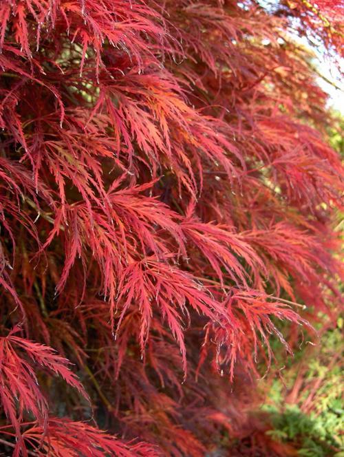 Клен дланевидный сорта Acer Palmatum Dissectum Atropurpureum
