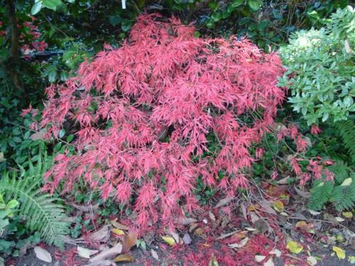 Клен дланевидный сорта Acer Palmatum Dissectum Nigrum