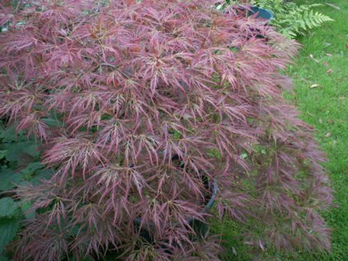 Клен дланевидный сорта Acer Palmatum Dissectum Ornatum