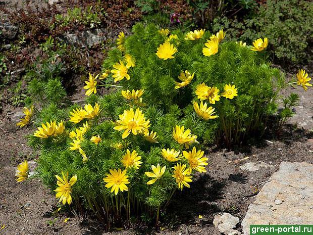 Адонис весенний, горицвет