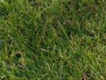 Полевица побегообразующая (Agrostis stolonifera)
