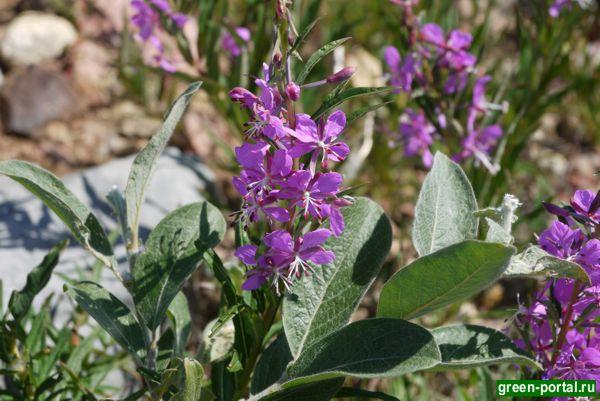 Иван-чай широколистный (Chamerion latifolium)