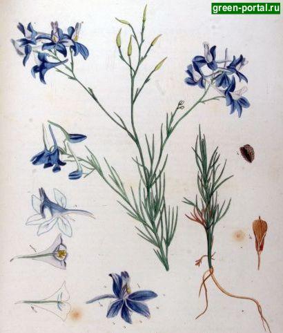 Живокость полевая (Delphinium consolida). Иллюстрация