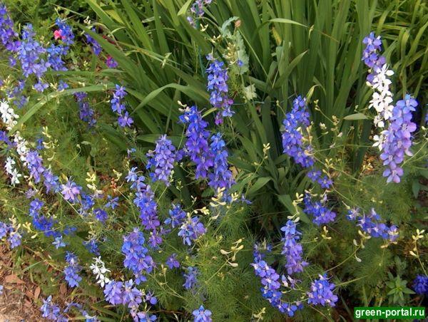 Живокость полевая (Delphinium consolida). Фото