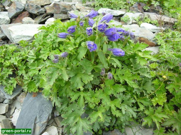 Живокость пунцовая (Delphinium puniceum)
