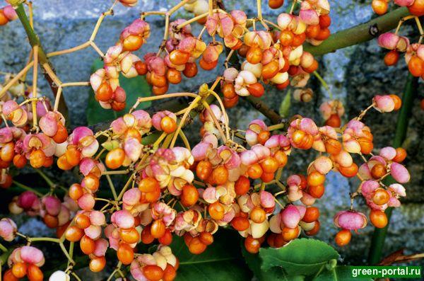 Бересклет Форчуна 'Колоратус' (Euonymus fortunei 'Coloratus')
