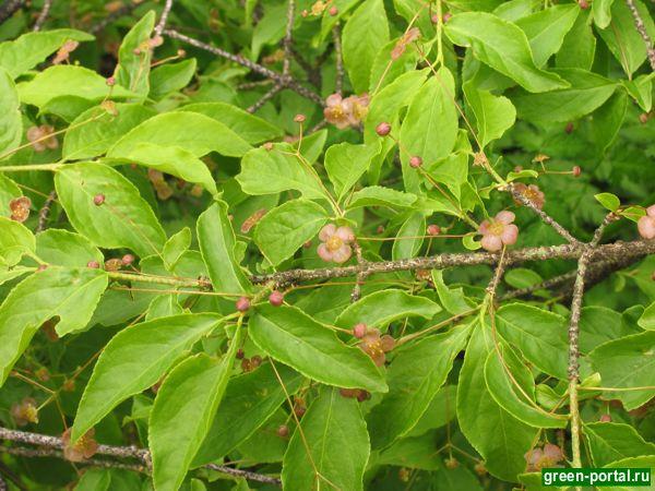 Бересклет бородавчатый (Euonymus verrucosus)