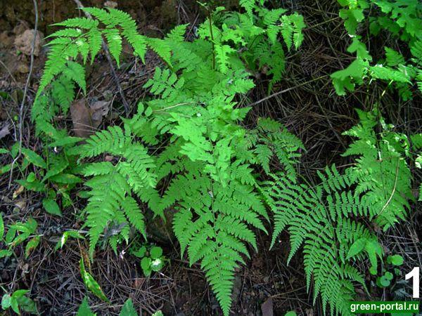 Кочедыжник японский(Athyrium niponicum (Mett.) Hance)