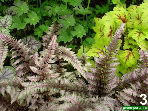 Кочедыжник японский 'Burgundy Lace' (Athyrium niponicum 'Burgundy Lace')