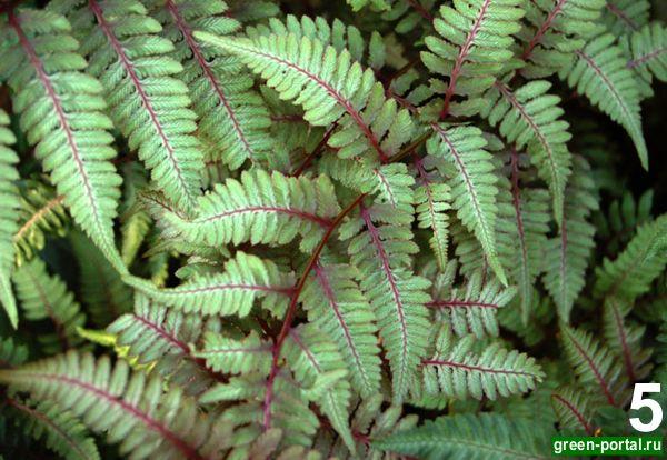 Кочедыжник японский 'Pictum' (Athyrium niponicum 'Pictum')
