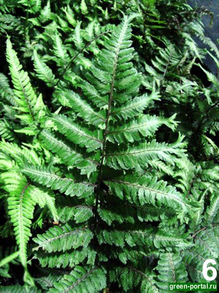 Кочедыжник японский 'Pictum Applecourt' (Athyrium niponicum 'Pictum Applecourt')