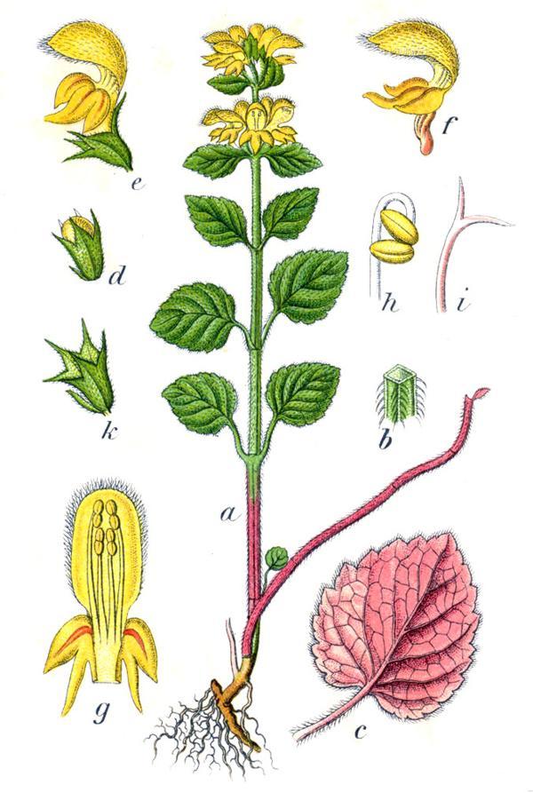 Зеленчук желтый (Galeobdolon luteum). Иллюстрация