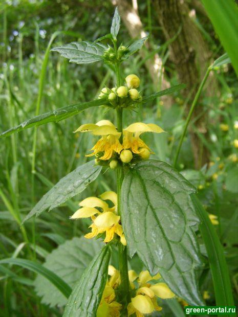 Зеленчук желтый (Galeobdolon luteum). Фото