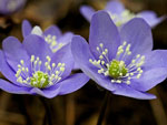Нежный весенний цветок: печеночница