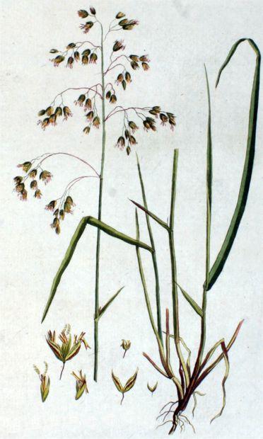 Зубровка душистая, или пахучая (Hierochloe odorata). Иллюстрация