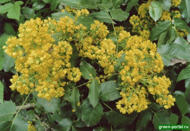 Цветок магонии