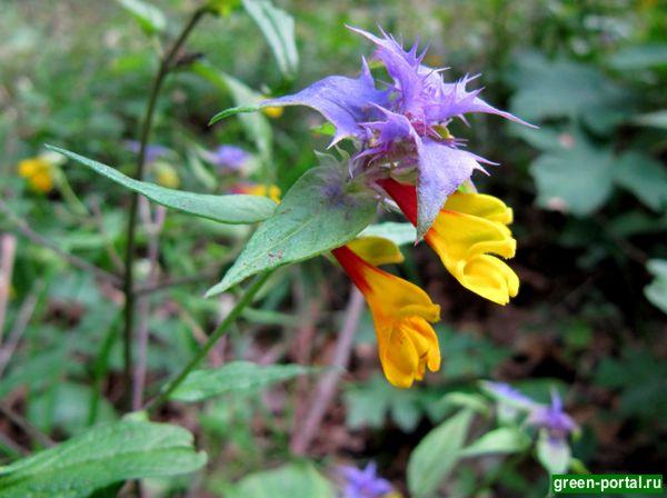 Марьянник дубравный (Melampyrum nemorosum)