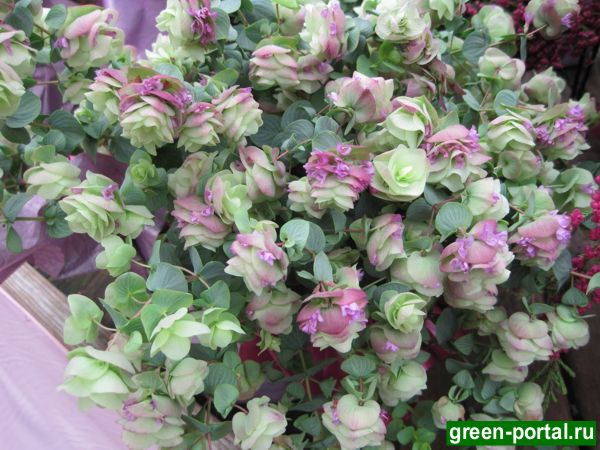 Душица круглолистная «Краса Кента» (Origanum rotundifolium «Kent Beauty»)