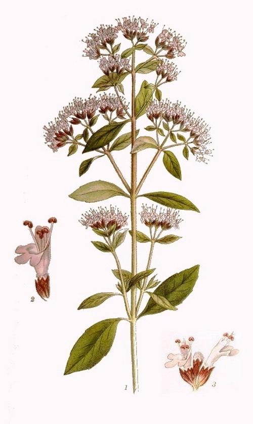 Душица обыкновенная (Origanum vulgare). Иллюстрация