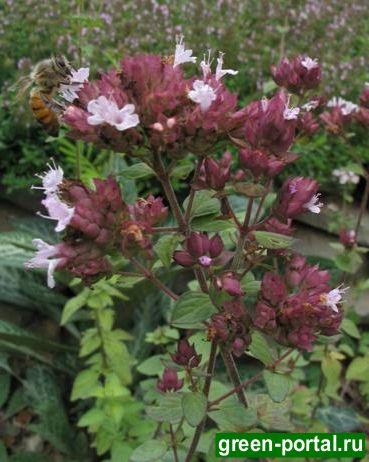 Душица обыкновенная «Heiderose» (Origanum vulgare «Heiderose»)