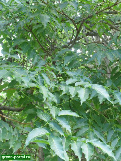 Бархат амурский (Phellodendron amurense)