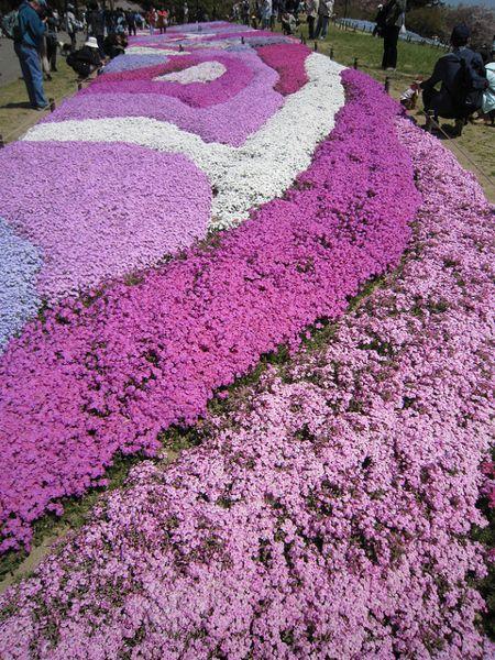 Цветочный ковёр из флоксов
