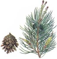 Сосна обыкновенная (Pinus silvestris L)