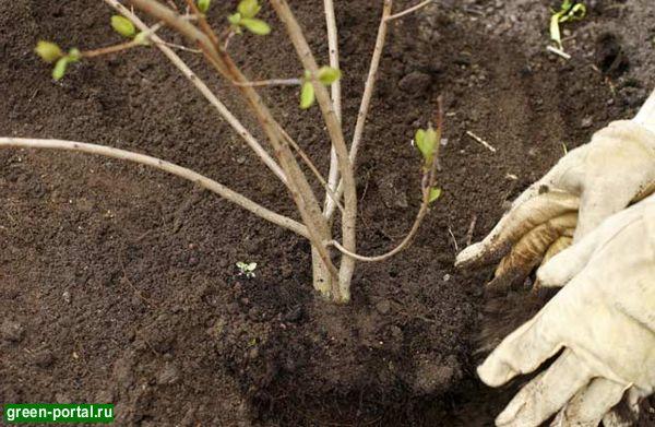 Яма для посадки дерева