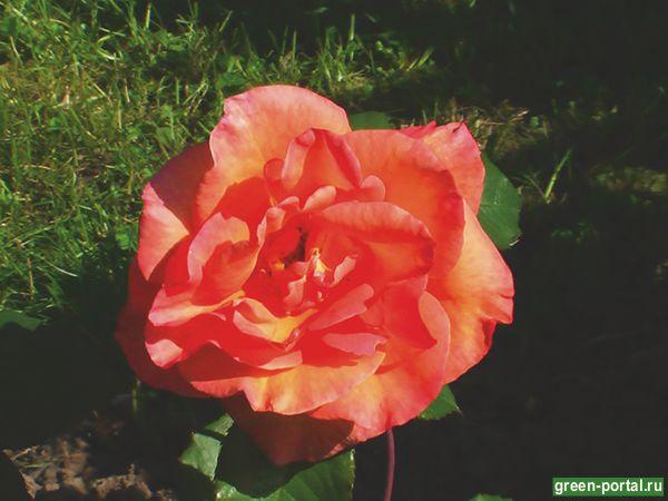 Роза флорибунда Саутгемптон