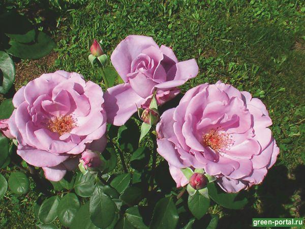 Роза чайно-гибридная Стерлинг Силвер