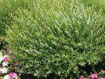 Желтолоз, ива пурпурная (Salix purpurea)