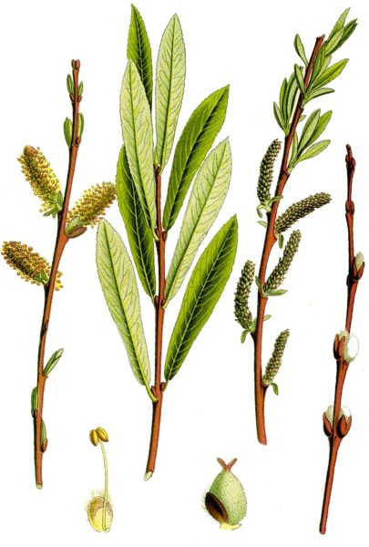 Желтолоз, ива пурпурная (Salix purpurea). Иллюстрация