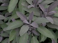 Шалфей лекарственный Purpurescens