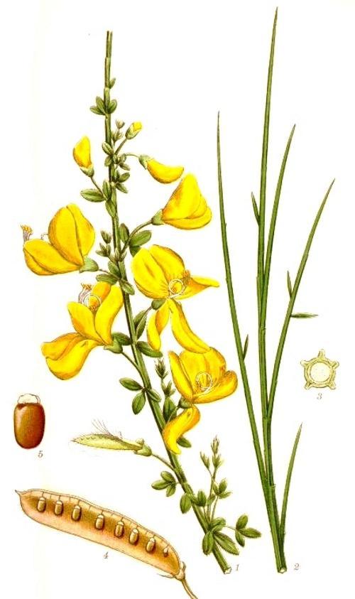 Жарновец метельчатый (Sarothamnus scoparius). Иллюстрация