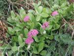 Заячья капуста (Sedum telephium)