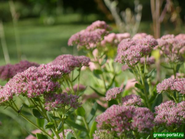 Очиток заячья капуста Autumn Joy (Sedum telephium Autumn Joy)