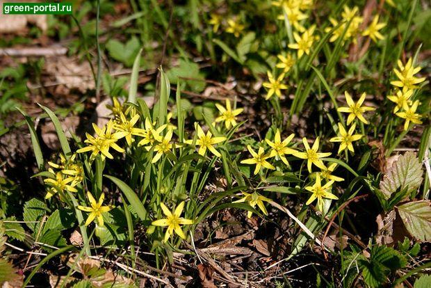 Гусиный лук желтый, или лесной (Gagea lutea)