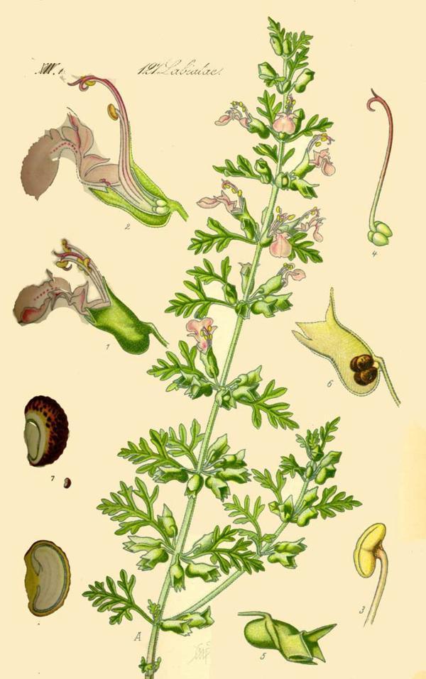 Дубровник кистевидный (Teucrium botrys). Иллюстрация