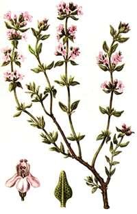 Тимьян Thymus