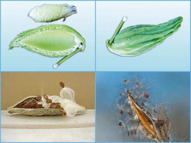 Недозревшие и зрелые семена ваточника сирийского